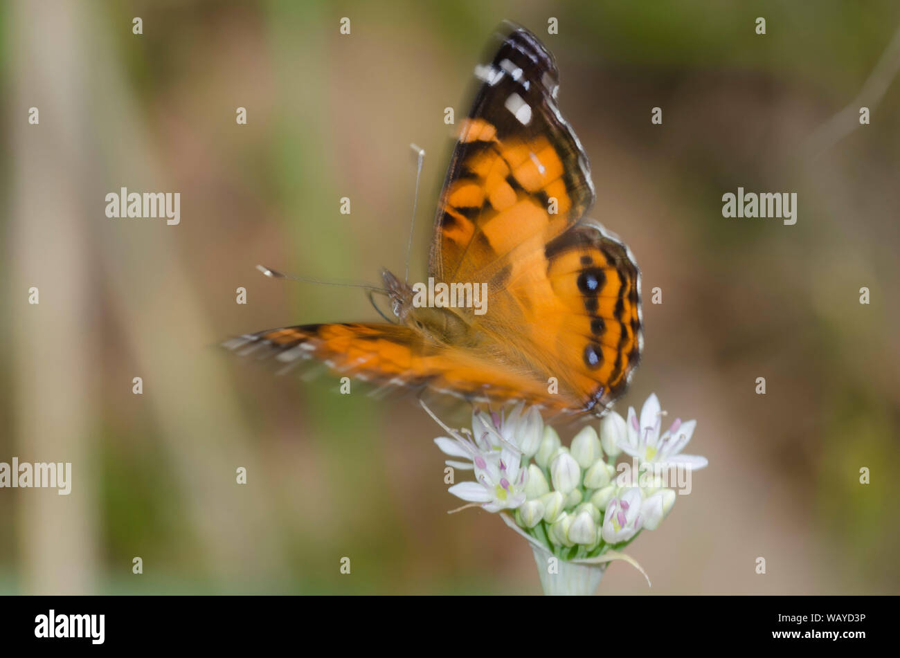 La señora americana, Vanessa virginiensis, tomando vuelo después nectaring pradera de ajo, Allium canadense Foto de stock