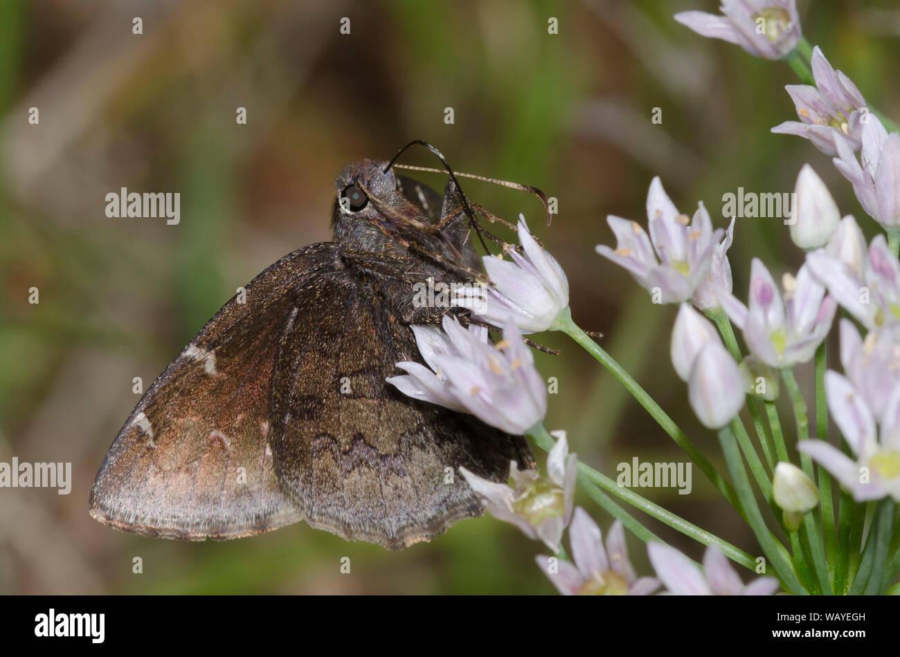 Norte, Thorybes pylades Cloudywing nectaring femenino de pradera, ajo, Allium canadense Foto de stock