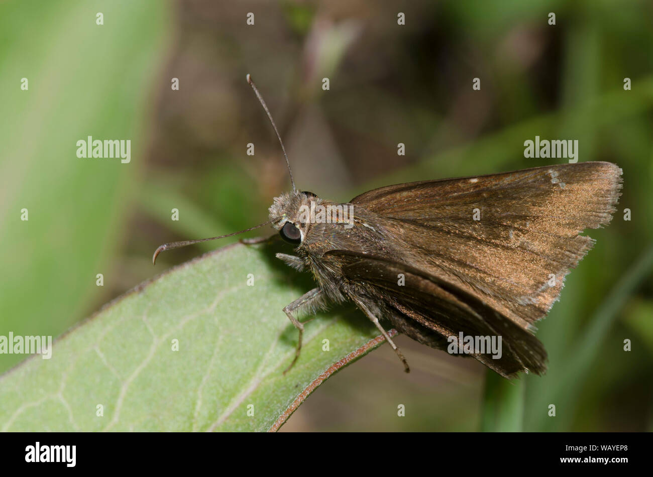 Confundido, Thorybes confusis Cloudywing Foto de stock