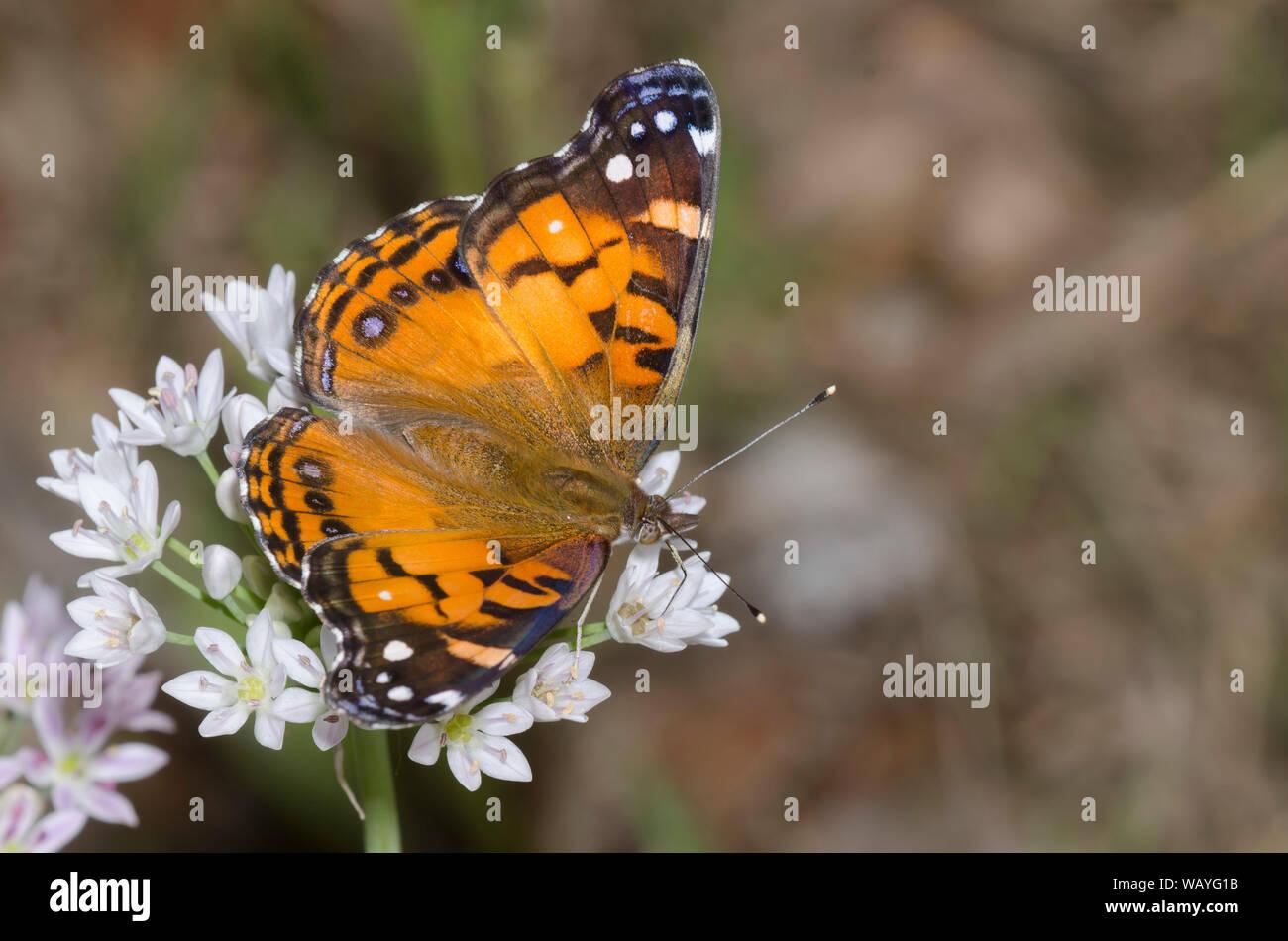 La señora americana, Vanessa virginiensis nectaring de pradera, ajo, Allium canadense Foto de stock