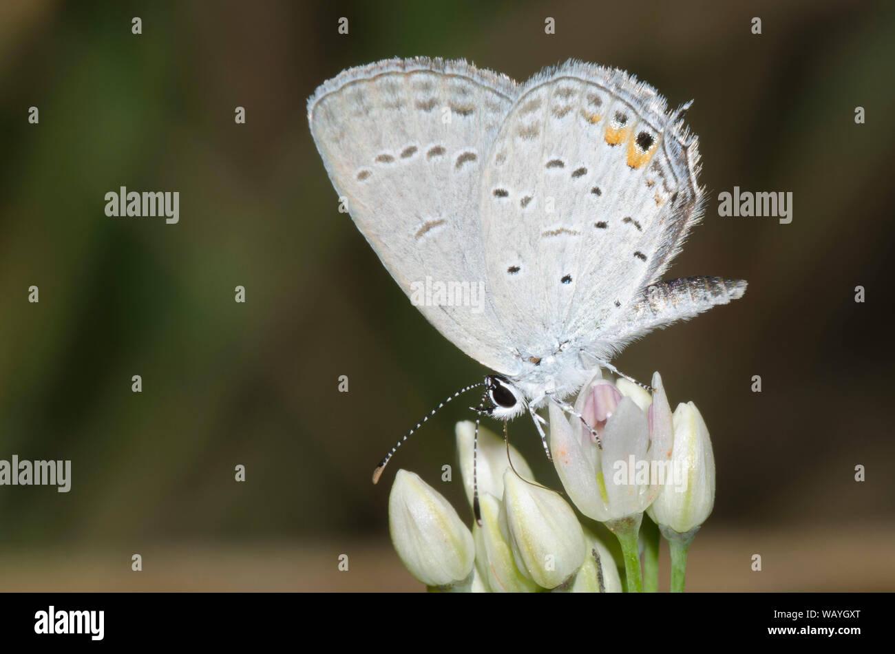 Cola oriental-azul, Cupido comyntas nectaring de pradera, ajo, Allium canadense Foto de stock