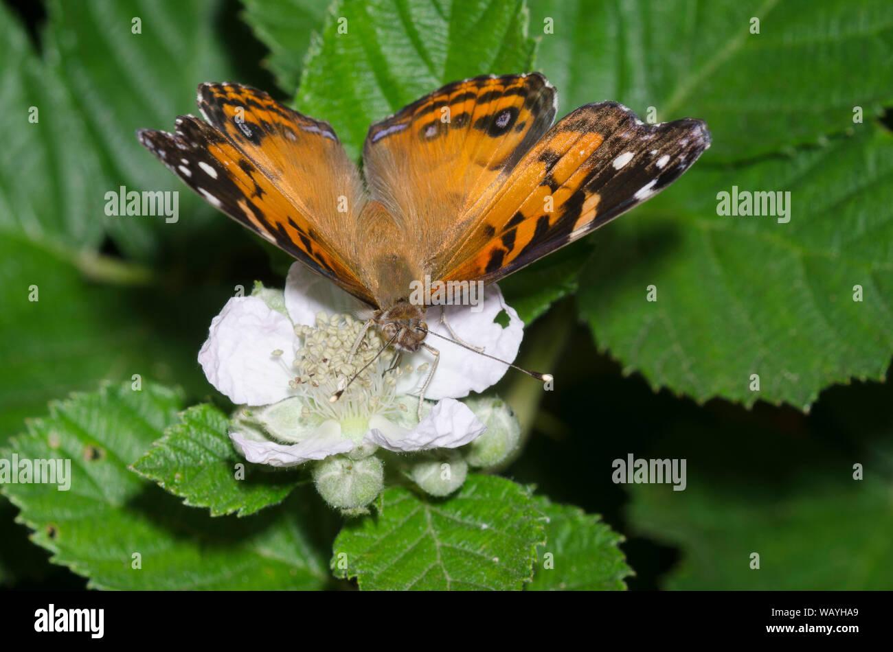La señora americana, Vanessa virginiensis, nectaring desde blackberry, Rubus sp., blossom Foto de stock