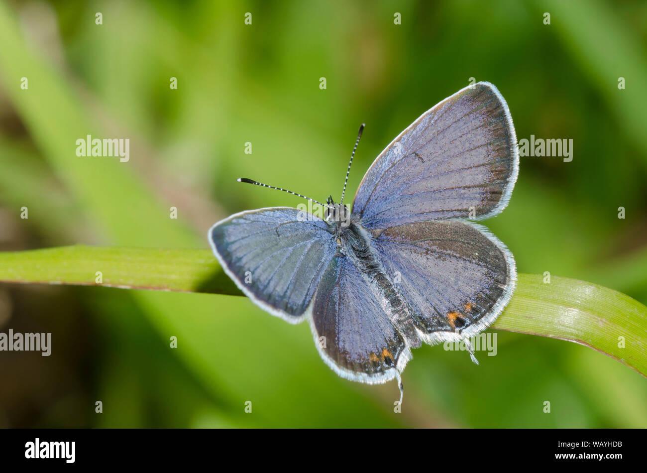 Cola oriental-azul, Cupido comyntas, macho Foto de stock