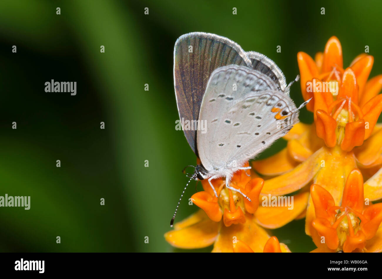 Cola oriental-azul, Cupido nectaring comyntas, hembra de color naranja, Asclepias asclepias tuberosa Foto de stock