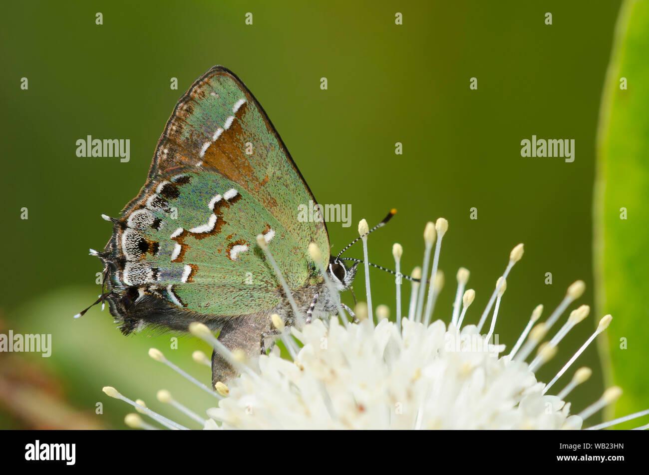Juniper, Callophrys Hairstreak nectaring gryneus, sobre buttonbush, Cephalanthus occidentalis Foto de stock