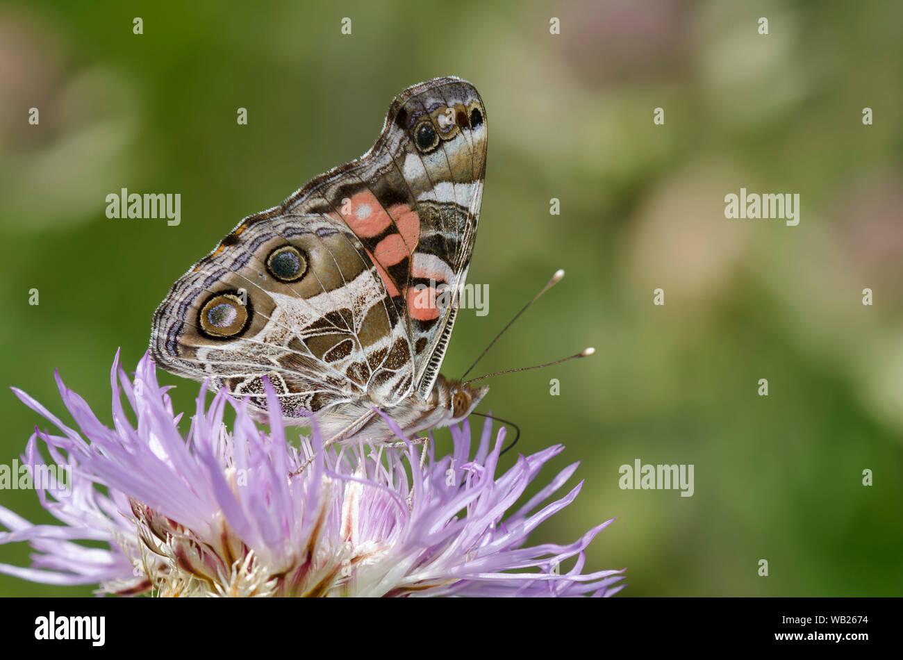 La señora americana, Vanessa virginiensis, nectaring en American Star-cardo Plectocephalus americanus Foto de stock