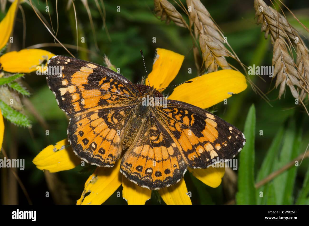 Plateado, Chlosyne Checkerspot nectaring nycteis, sobre black-eyed Susan, Rudbeckia hirta Foto de stock