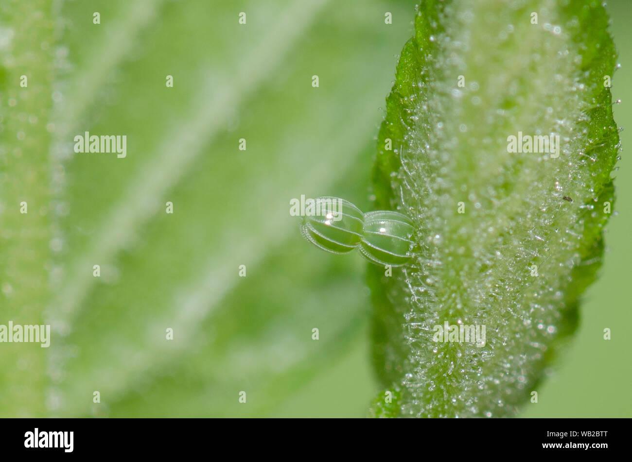 Signo de interrogación, Polygonia interrogationis recién parasit�huevo en elm, Ulmus sp. Foto de stock