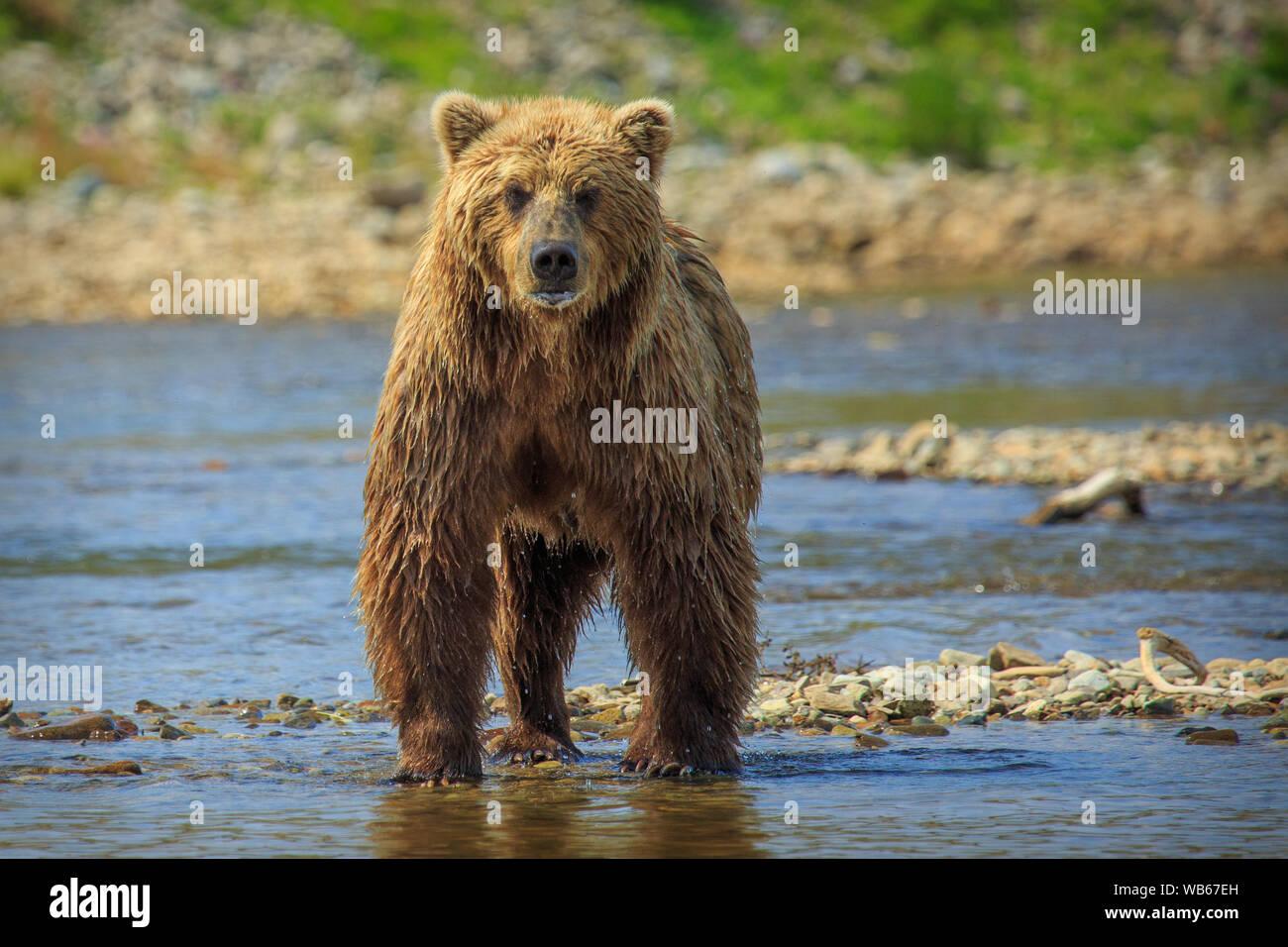 Los osos pardos en Alaska Foto de stock