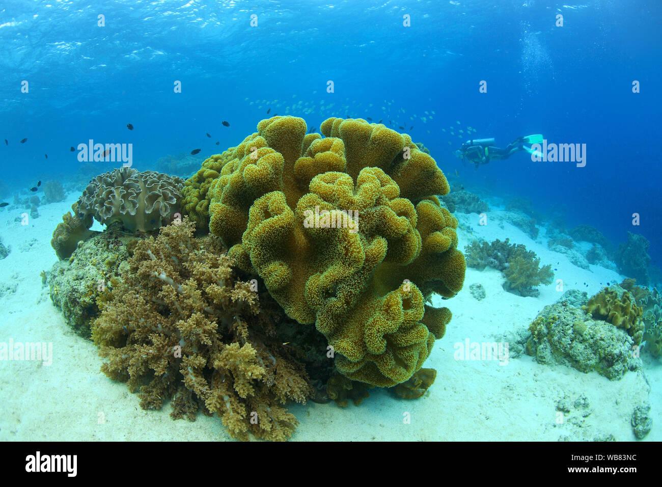 Cuero (Sarcophyton trocheliophorum coral), Cebú, Visayas, Filipinas Foto de stock