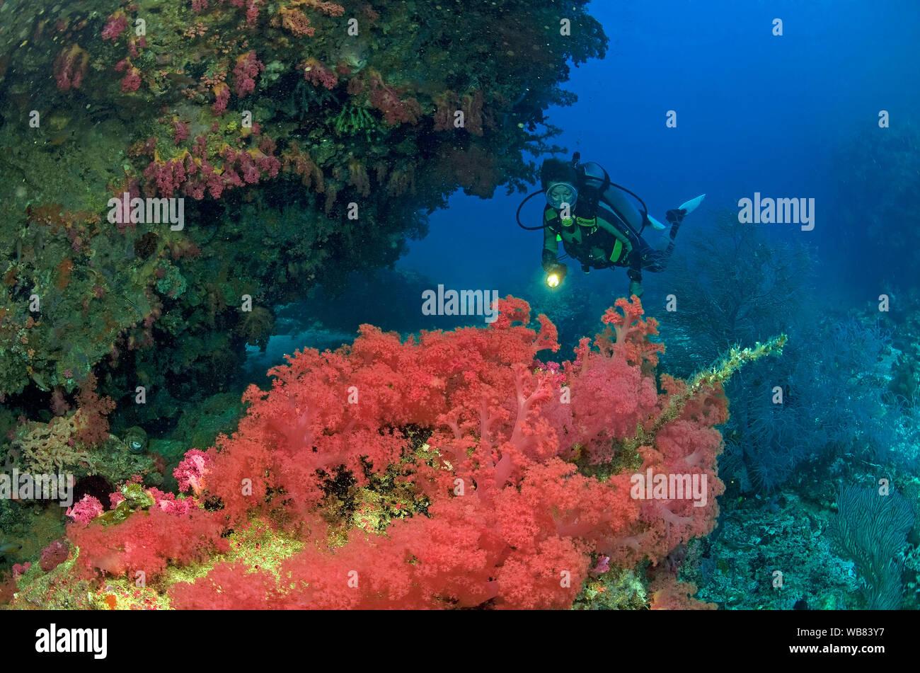 Buceo en un arrecife de coral con corales blandos (Nephtheidae rojo), Malapascua, Cebu, Filipinas Foto de stock