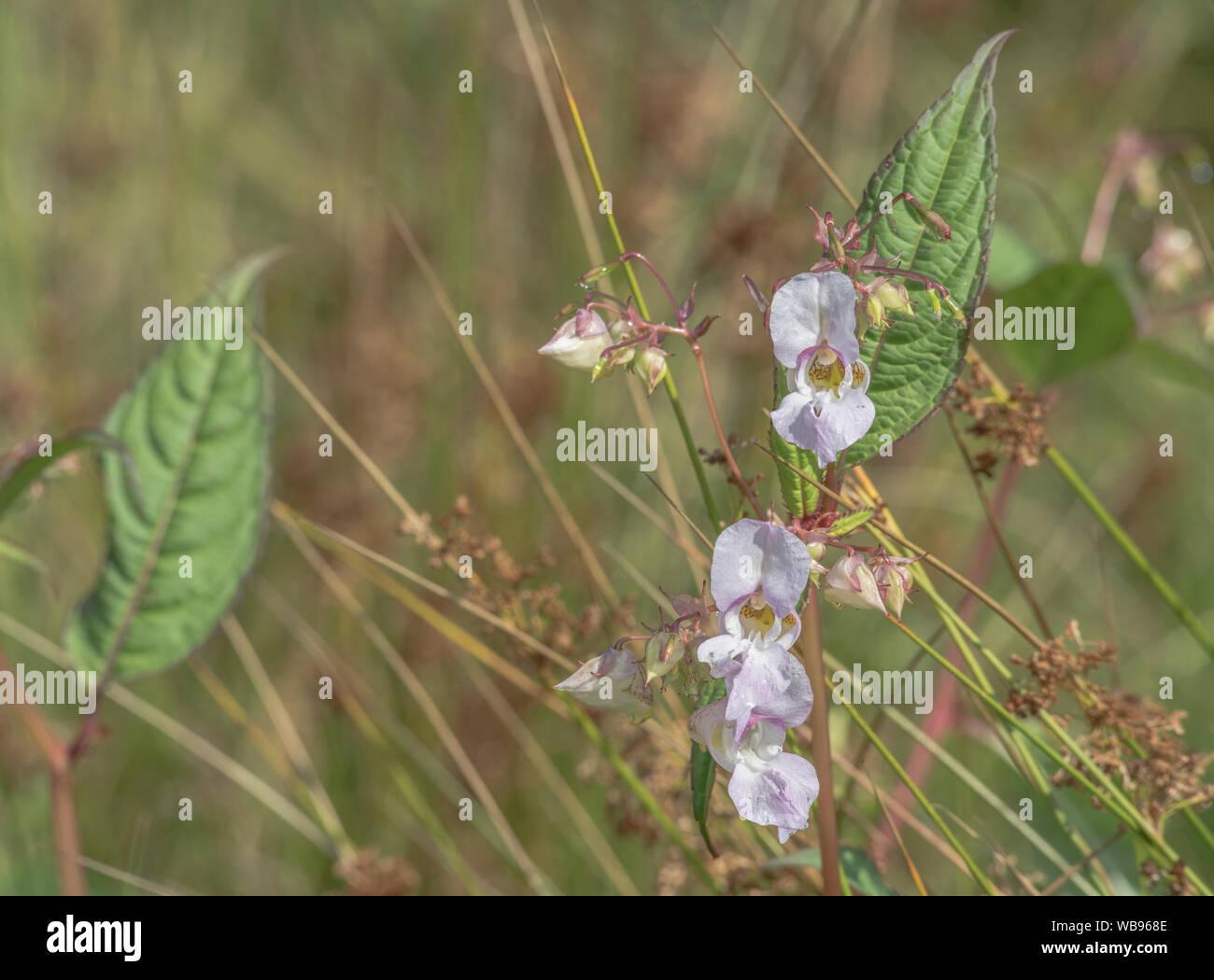 Flores y hojas superiores de los molestos Bálsamo / Impatiens glandulifera del Himalaya - que le gusta el suelo húmedo / tierra, ríos, riberas. Foto de stock
