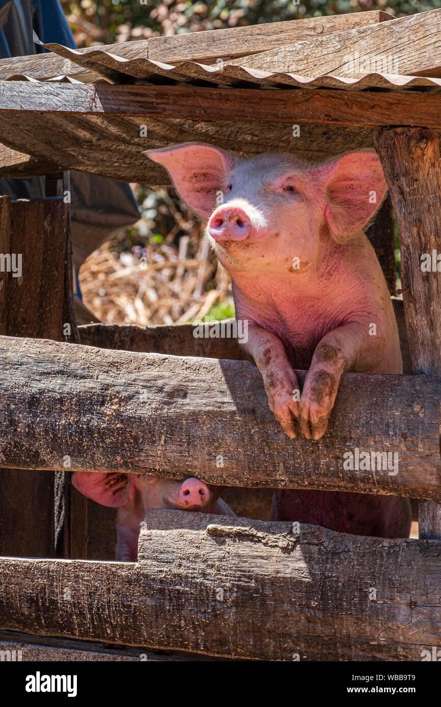 Corral de Cerdos, proyecto financiado con microcredito, Yacón, San Sebastián Lemoa, municipio de Chichicastenango, Quiché, Guatemala, Estados Unidos Foto de stock