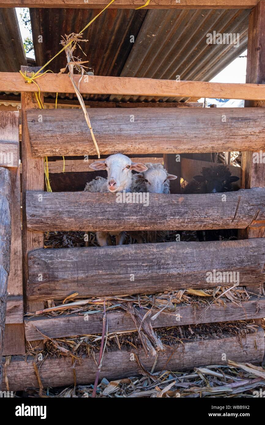 Granja de corderos, proyecto financiado con microcredito, Yacón, San Sebastián Lemoa, municipio de Chichicastenango, Quiché, Guatemala, Estados Unidos Foto de stock