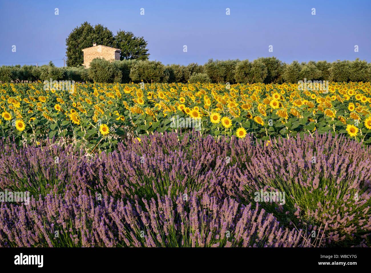La lavanda y el campo de girasol, Lavandula angustifolia, la Meseta de Valensole, Francia Provence-Alpes-Côte d'Azur, Francia Foto de stock