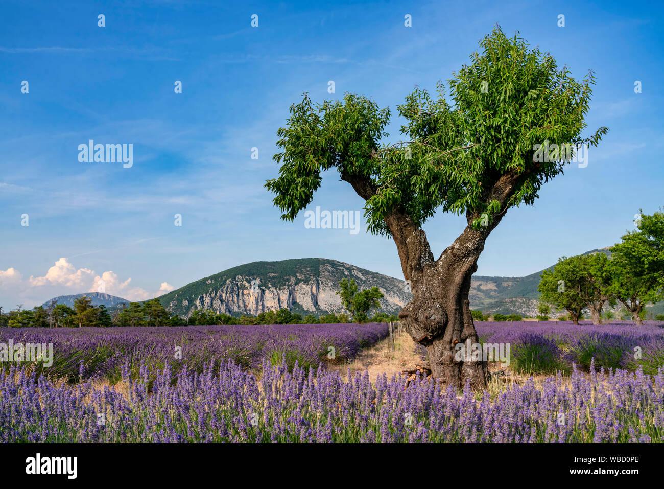 Campo de lavanda con árbol, Lavandula angustifolia, la Meseta de Valensole, Francia Provence-Alpes-Côte d'Azur, Francia Foto de stock