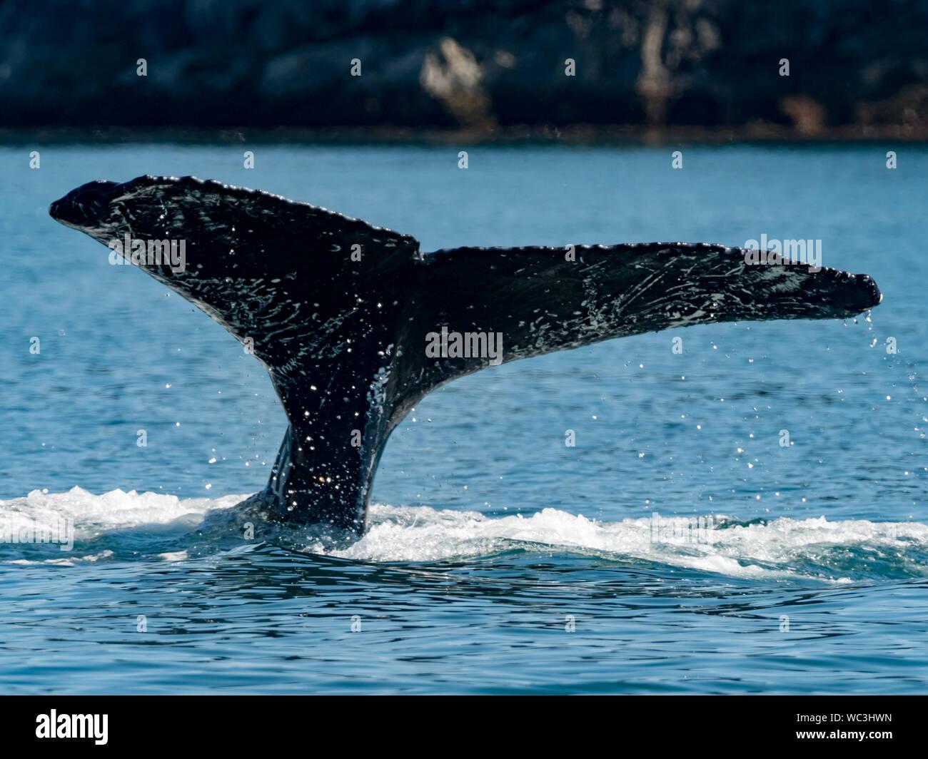 Las ballenas jorobadas Megaptera novaeangliae, buceo y mostrando sus aletas caudales o colas que pueden utilizarse para la identificación de las personas en el sureste de al. Foto de stock