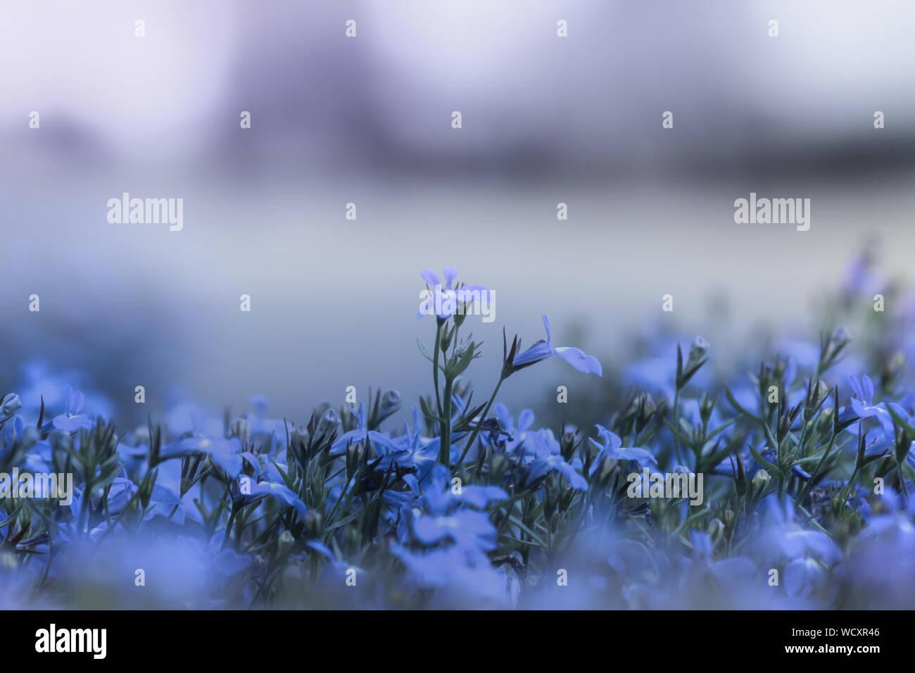 Close-up de Crocus Morado Blooming contra Sky Foto de stock