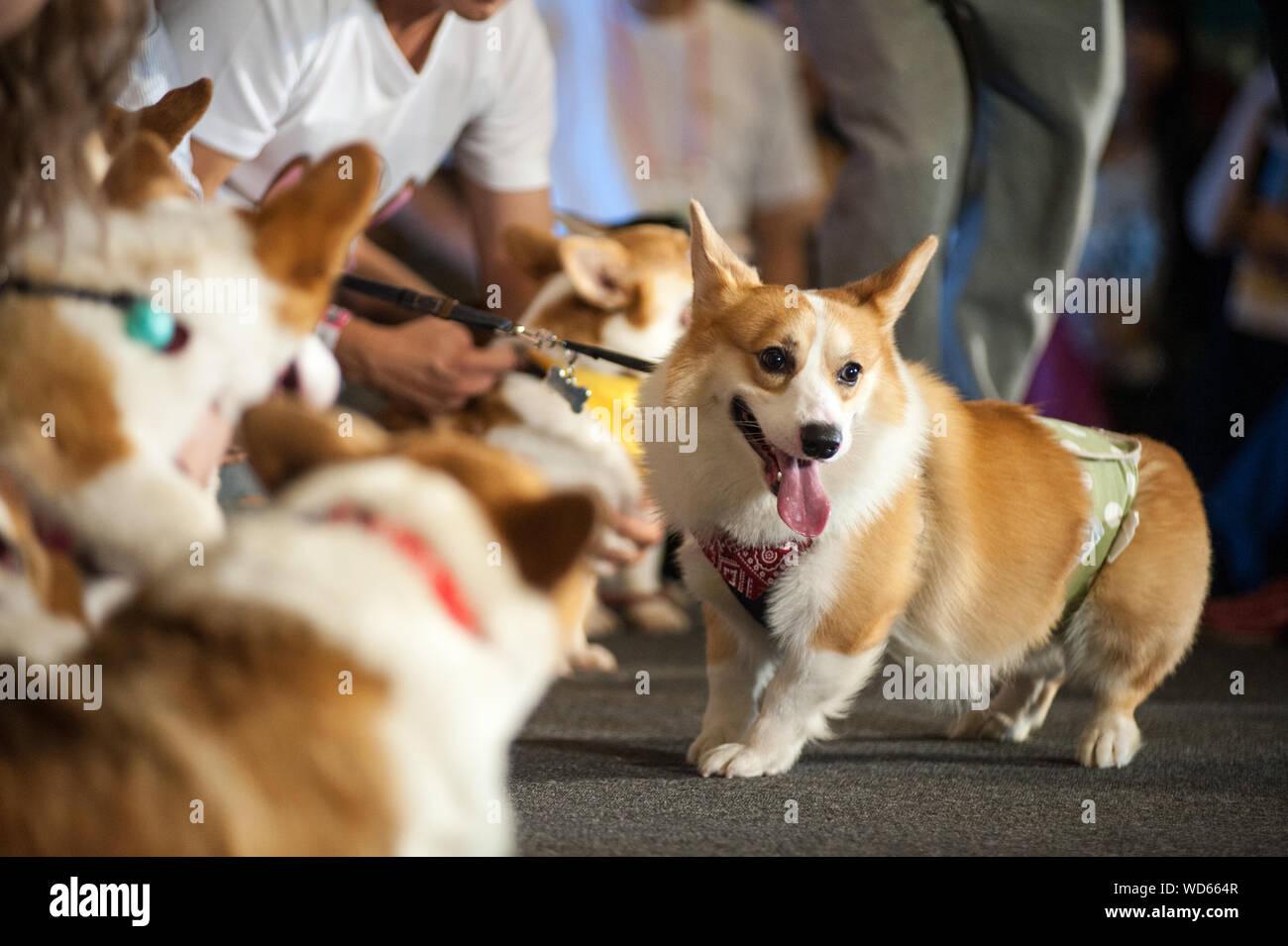 Parte media de hombres con Pembroke Welsh Corgis Durante Dog Show Foto de stock