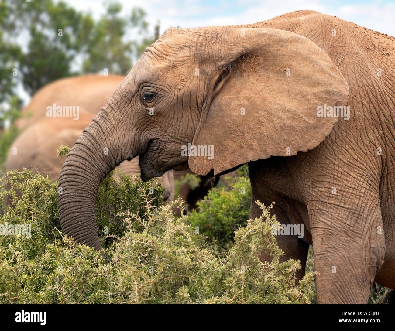Elefante africano (Loxodonta africana) el pastoreo en el Parque Nacional de Elefantes Addo, Port Elizabeth, Eastern Cape, Sudáfrica Foto de stock