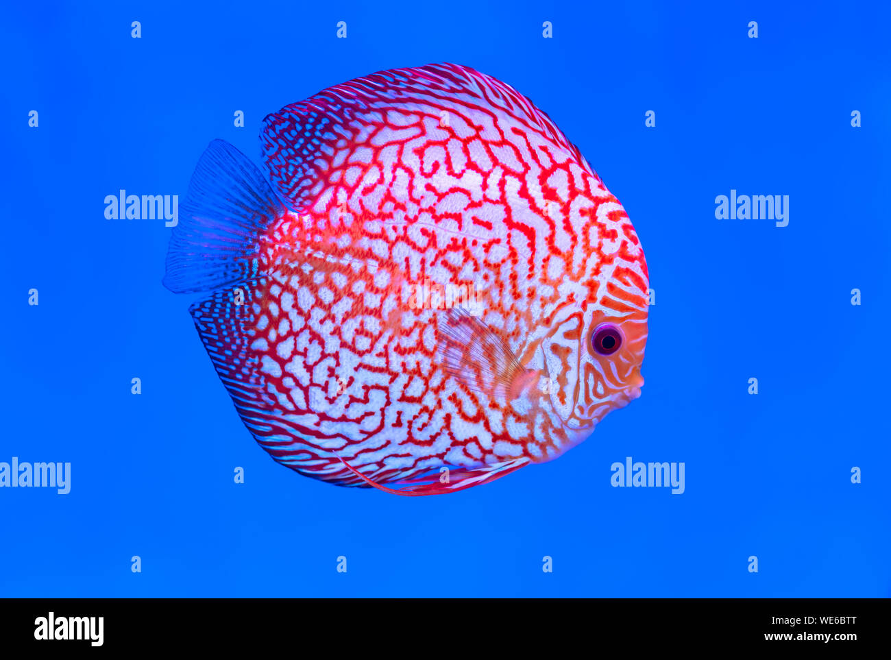 Discus peces coloridos peces nadando en el tanque. Esta es una especie de peces ornamentales para decorar la escena en la casa Foto de stock