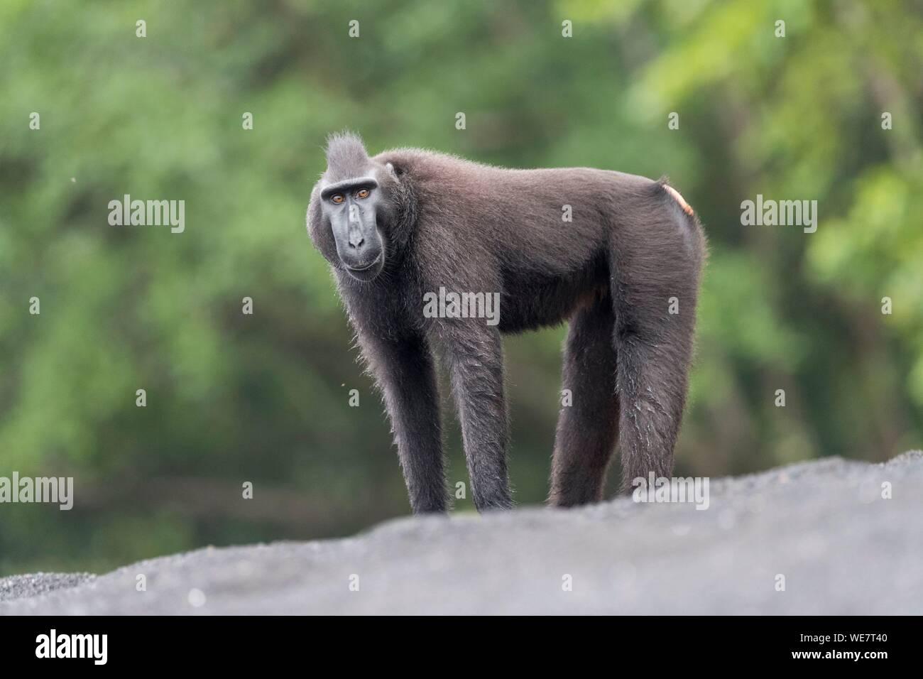 Indonesia, Célebes, Sulawesi, Parque Nacional Tangkoko, macaco crestado de Célebes o Sulawesi, macaco negro crestado crestados, macaco o el negro ape (Macaca nigra) Foto de stock
