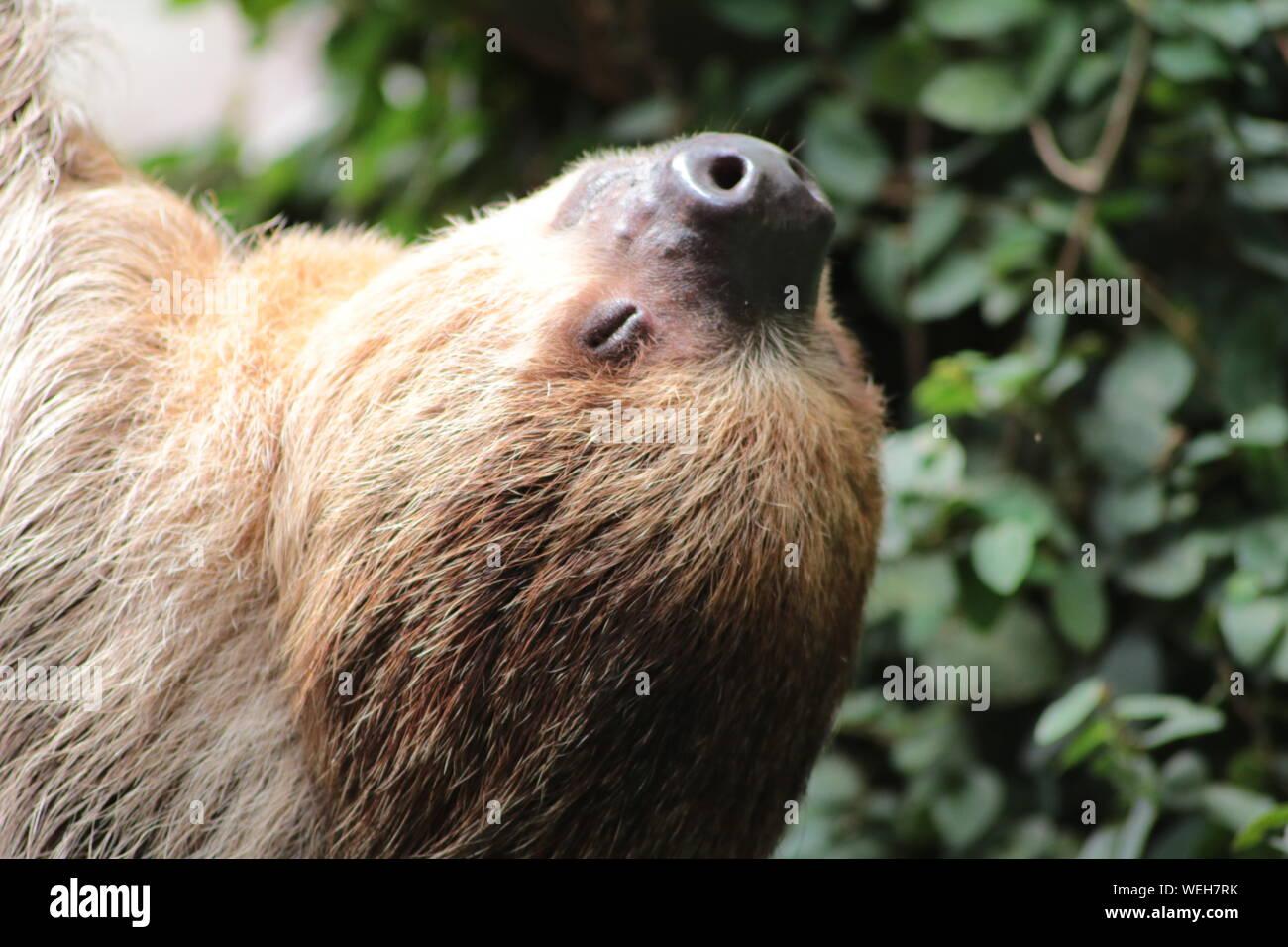 Close-up de Sloth con ojo cerrado Foto de stock