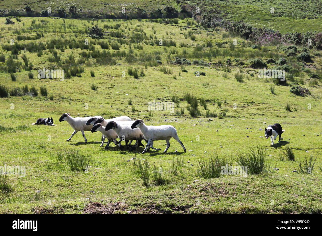 Perros pastoreando ovejas sobre césped Foto de stock