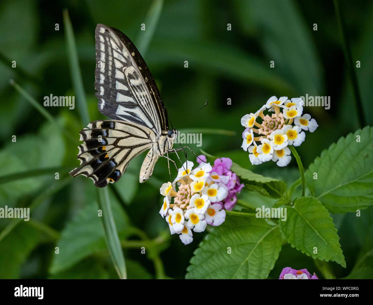 Una papilio xuthus butterfly, también llamado comúnmente una especie asiática, China, o Xuthus amarillo ESPECIE especie se alimenta de pequeños lantana flo Foto de stock