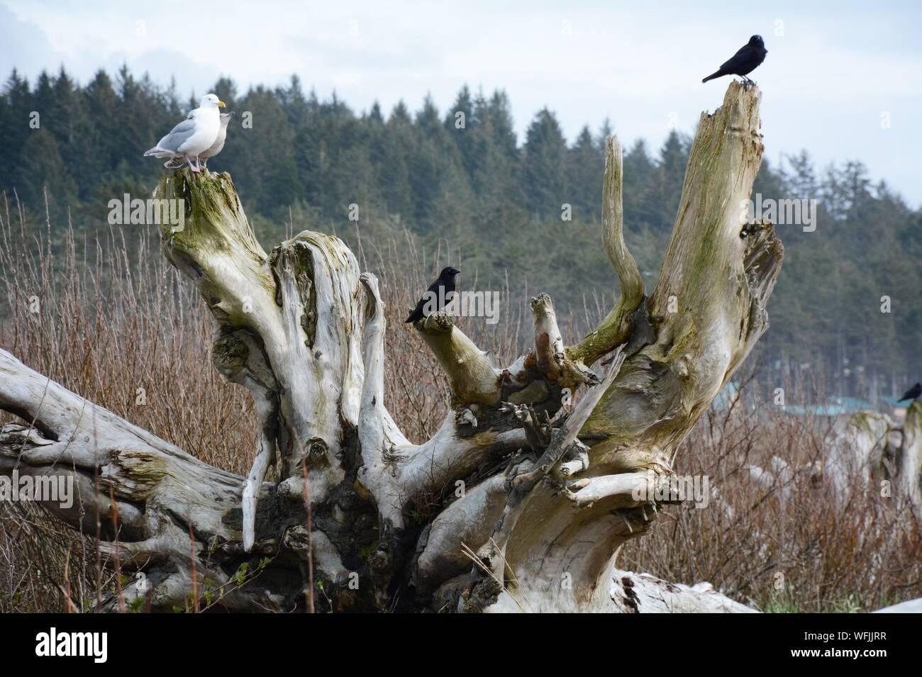 Donde se posan los pájaros en la rama de árbol muerto Foto de stock