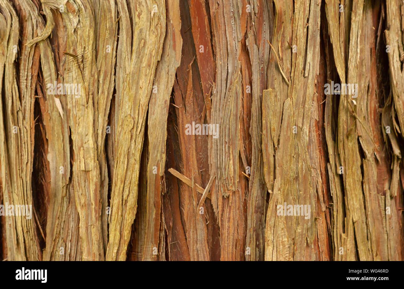Árbol de corteza de cedro, en Sedgwick jardines. Larga colina estate en Beverly, MA. Foto de stock
