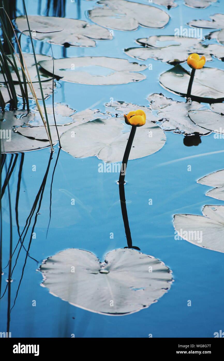 Un alto ángulo de vista de amarillo nenúfares floreciendo en el lago Foto de stock
