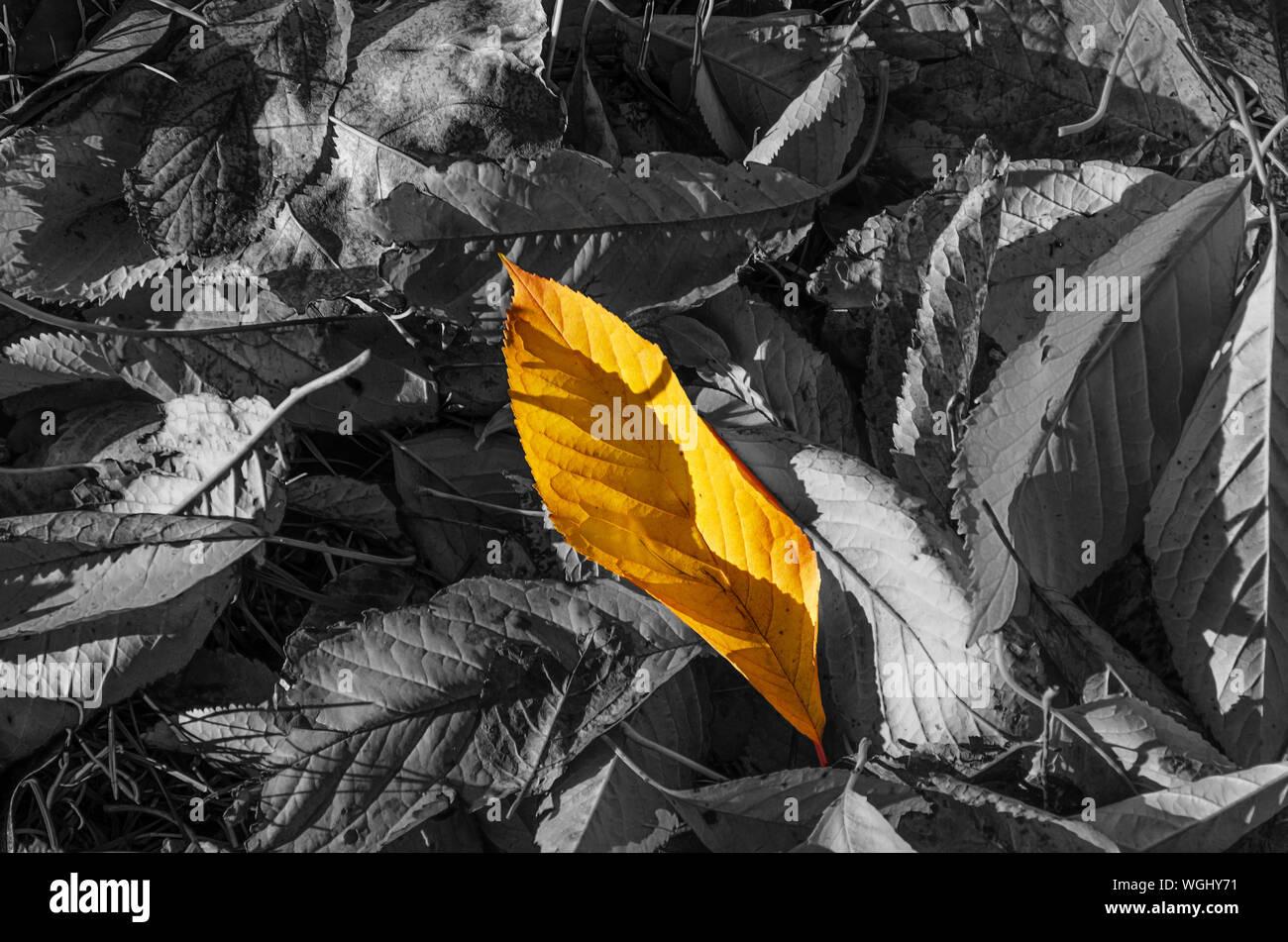 Caído hojas incoloro, entre ellos uno de color amarillo brillante. La singularidad, la diferencia, la individualidad y sobresalir entre la multitud concepto Foto de stock