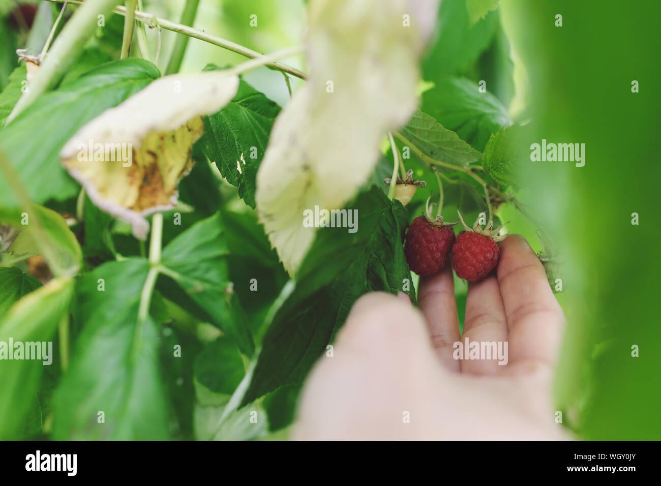 Close-up de Recogida manual frambuesas maduras Foto de stock