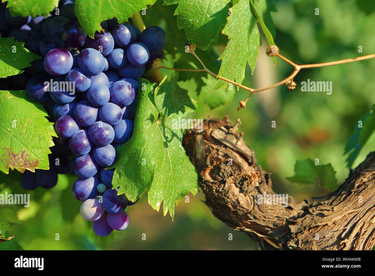 Vigne et grappe de raisin du vignoble français Foto de stock