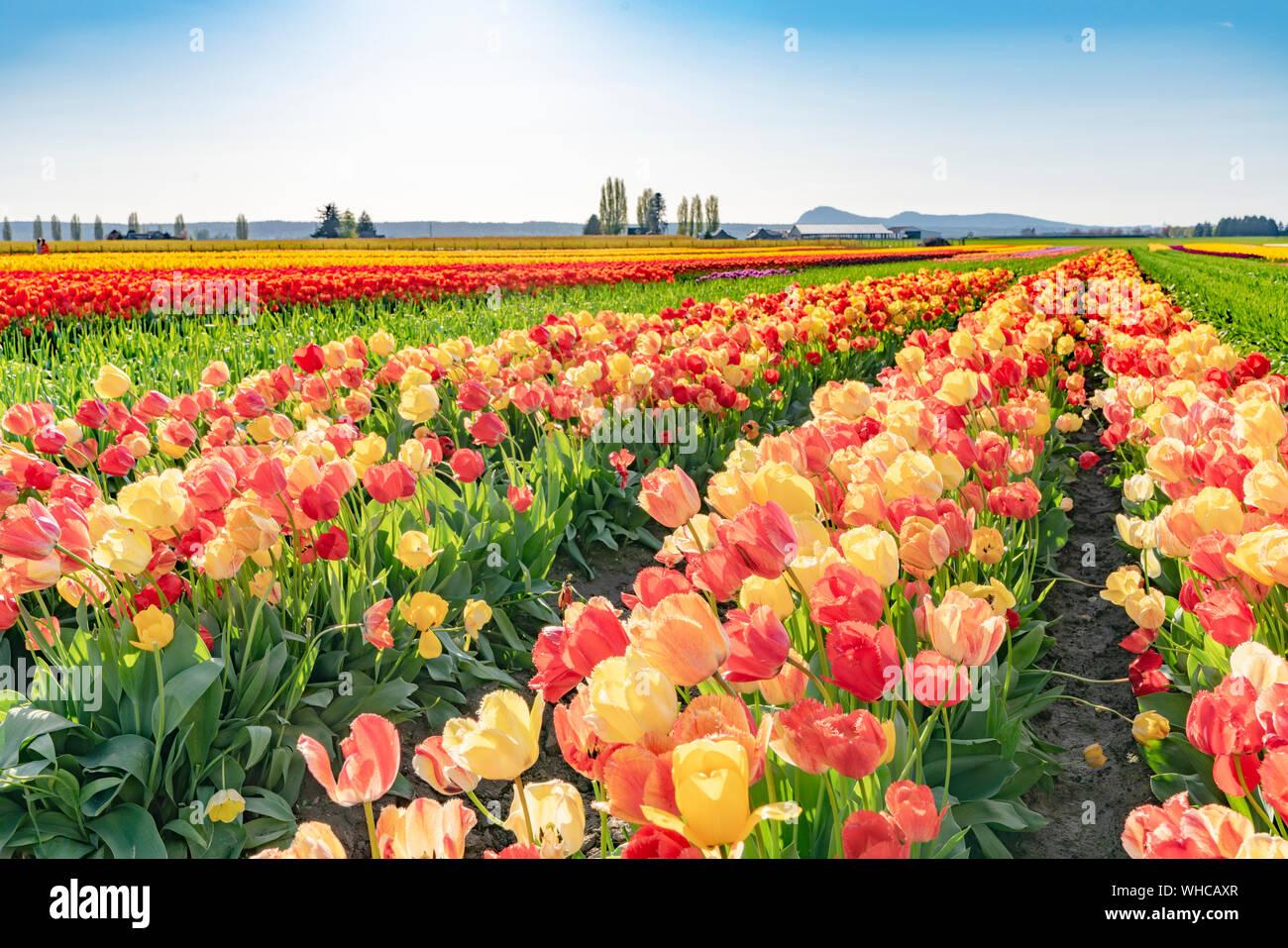 Luminoso multicolor paisaje de campo de tulipanes. Foto de stock