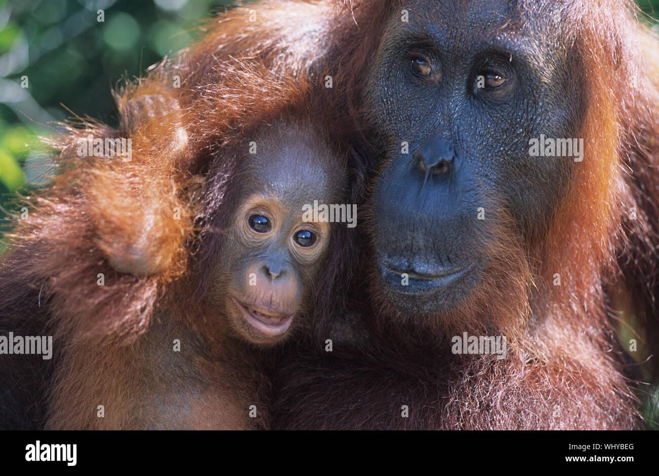 Orangután abrazando a jóvenes de cerca Foto de stock