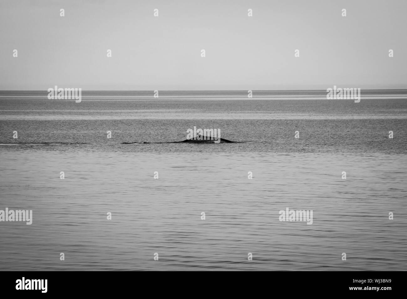 Ballenas nadando en el mar contra el cielo claro Foto de stock