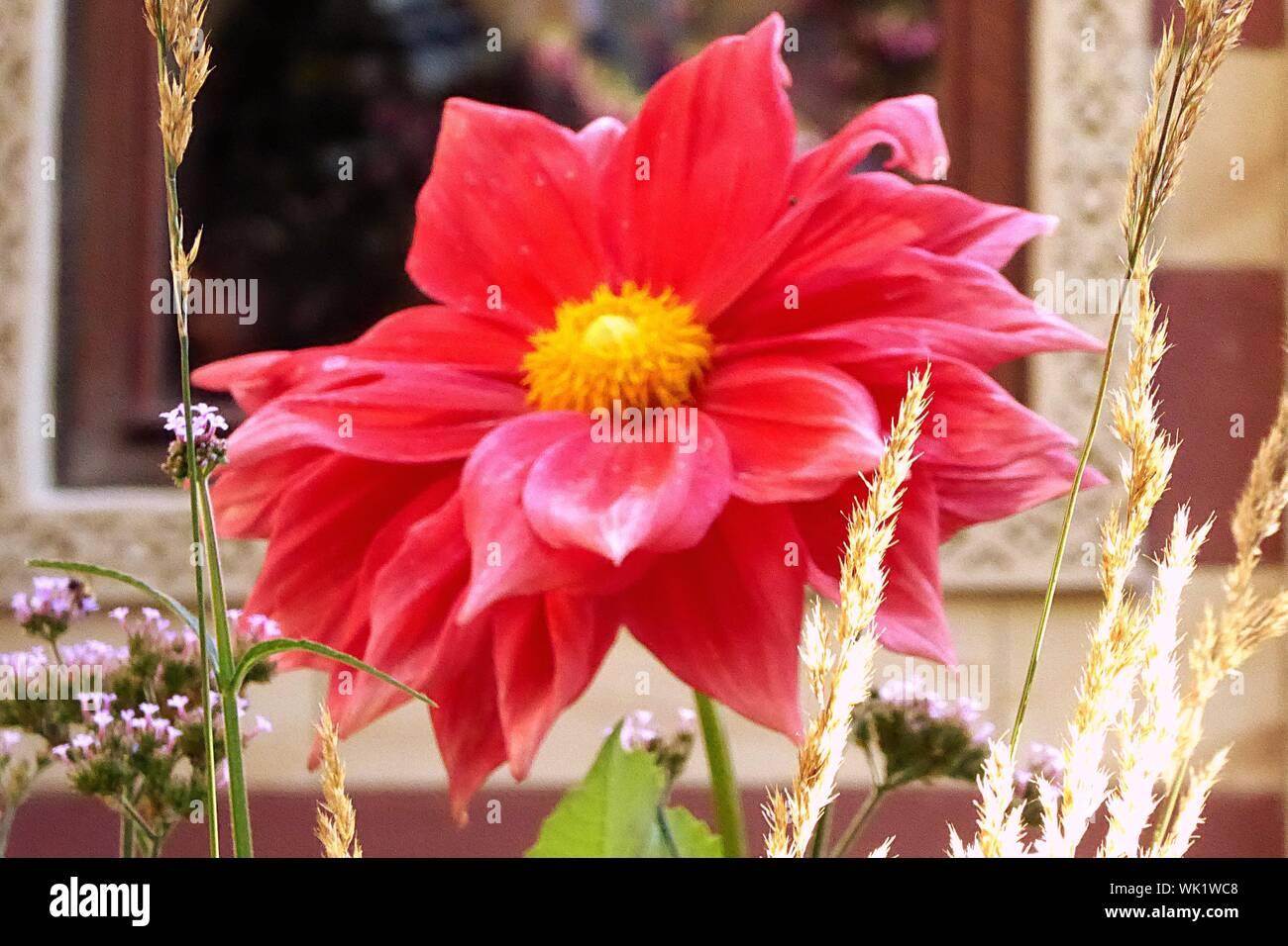 Close-up de flor rosa Foto de stock