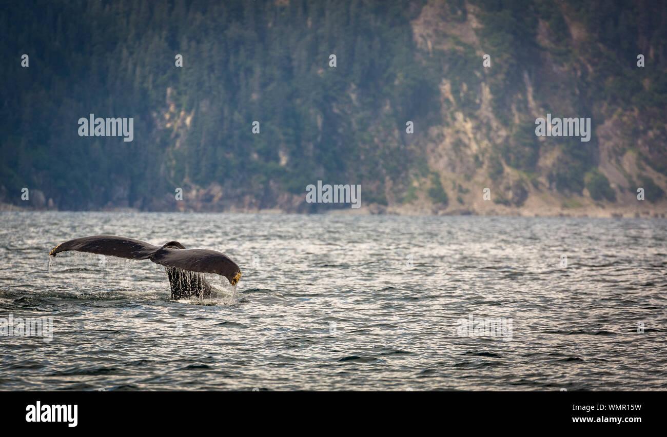 Cola de ballena jorobada en Resurrección Bay, Alaska Foto de stock