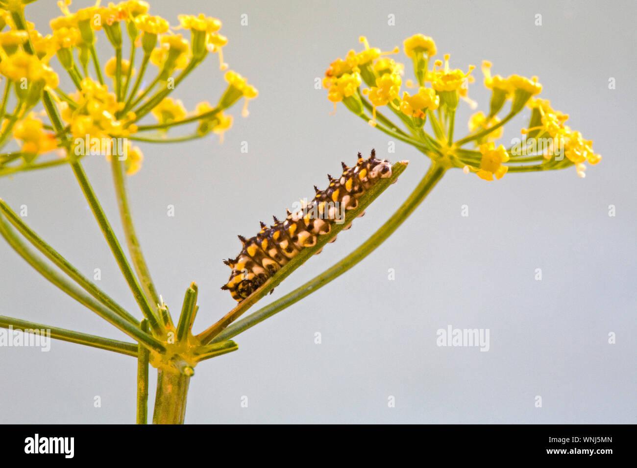 La diminuta de Caterpillar de segundo instar una especie de anís mariposa sobre el tallo de una flor de una planta de eneldo. Alrededor de un cuarto de pulgada de longitud. Foto de stock
