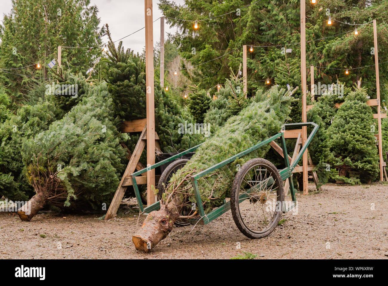 Árboles de Navidad recién cortadas en una granja de árboles de Navidad Foto de stock
