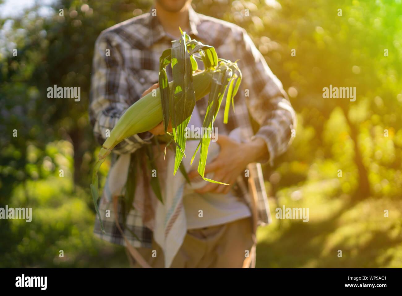 El agricultor joven sosteniendo un maíz crudo, acaban de reunirse en el jardín en días soleados Foto de stock