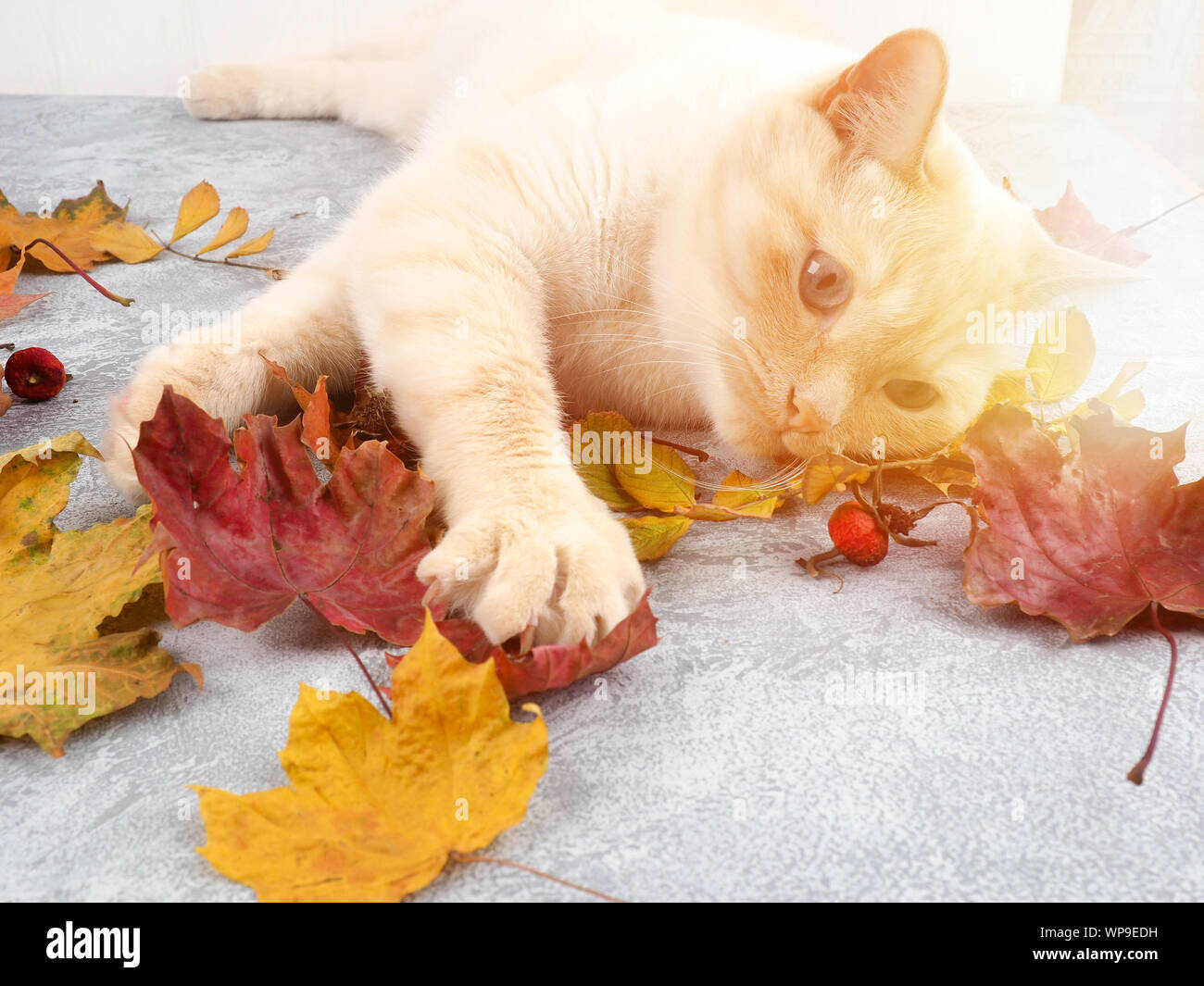 Gato Blanco jugando con hojas de otoño Foto de stock