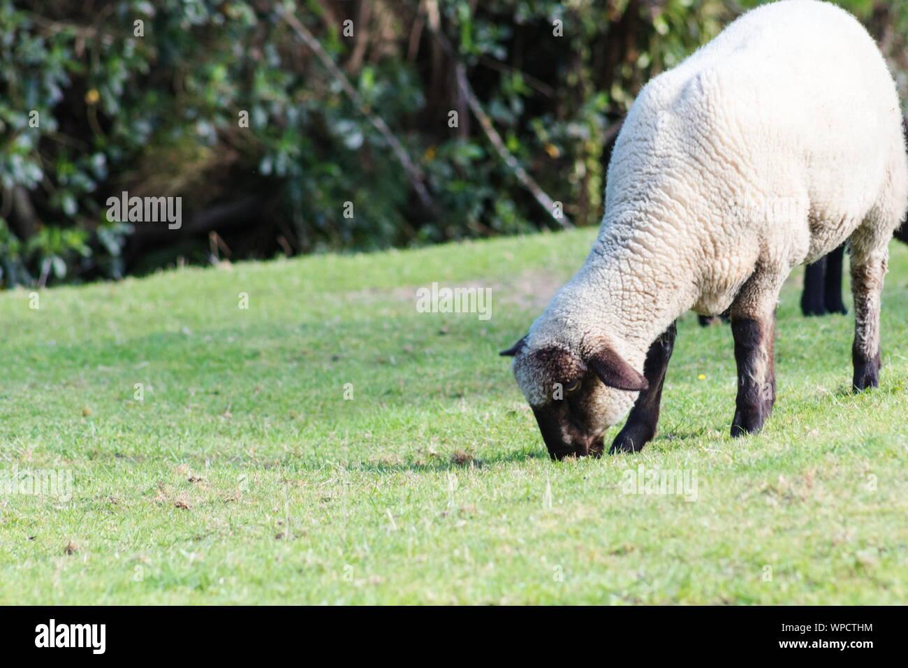 Cerrar imagen de Suffolk ovejas pastando en la hierba con espacio de copia Foto de stock