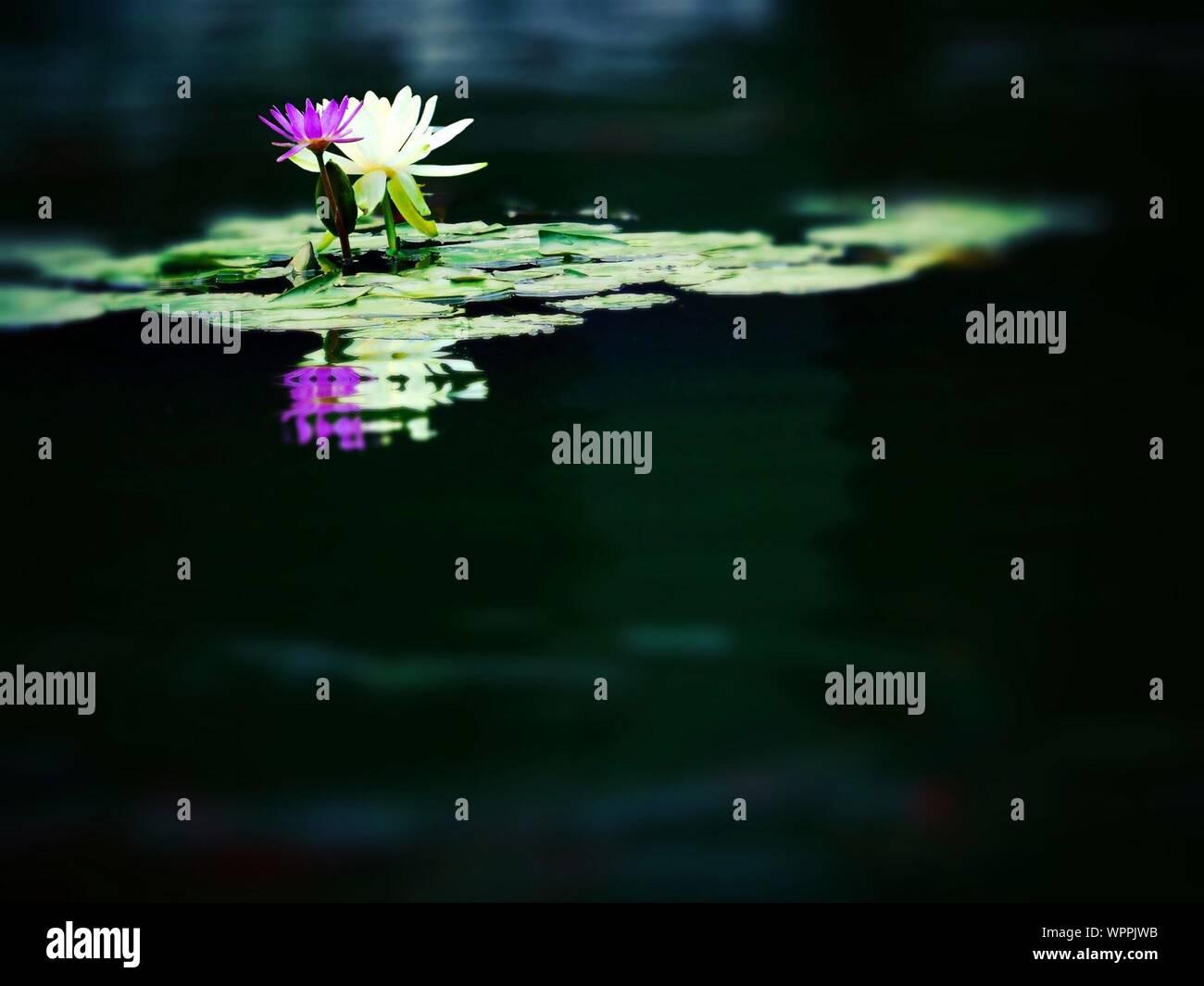 Nenúfares floreciendo en el lago Foto de stock
