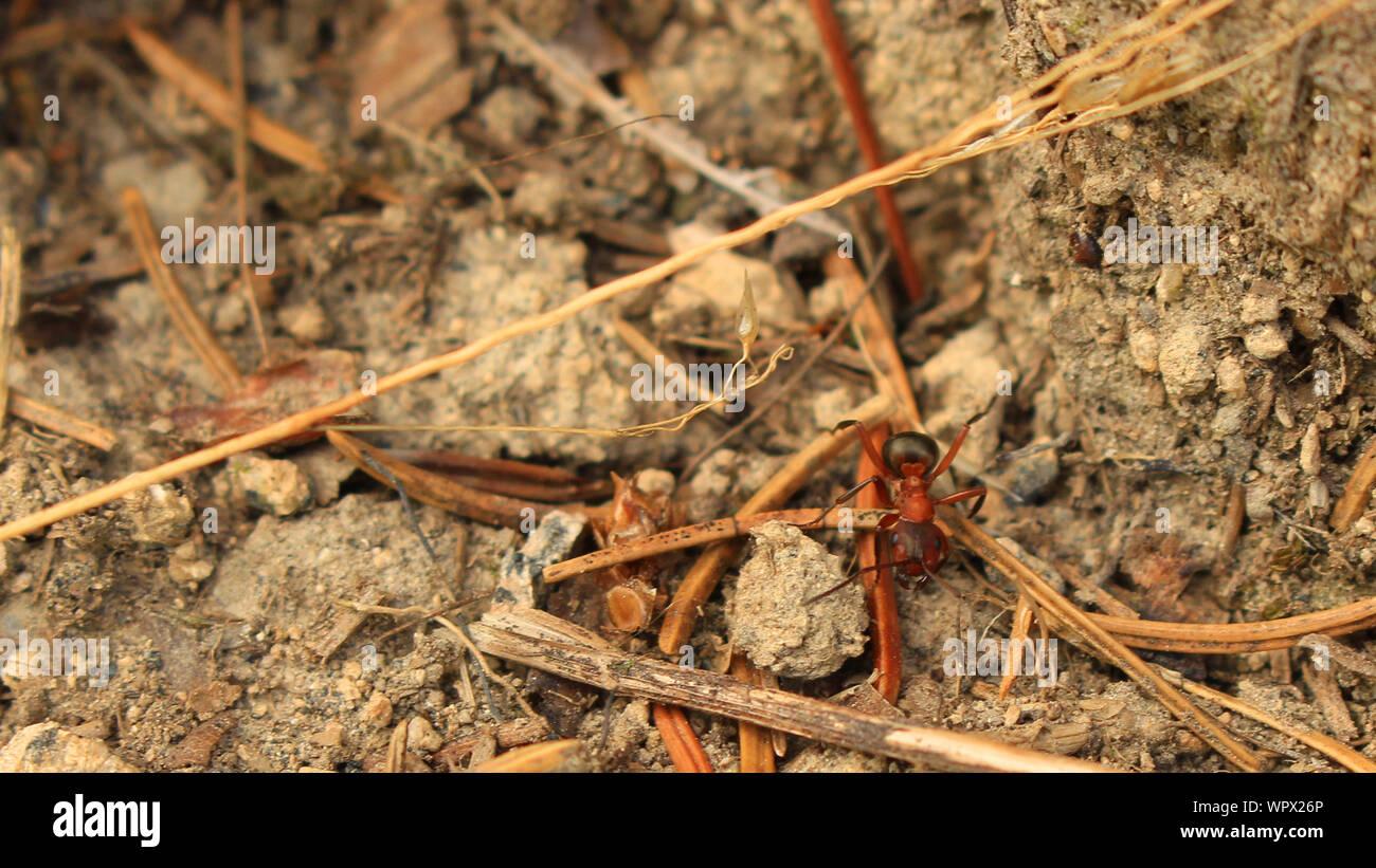Un alto ángulo de visualización de la Hormiga en el suelo Foto de stock