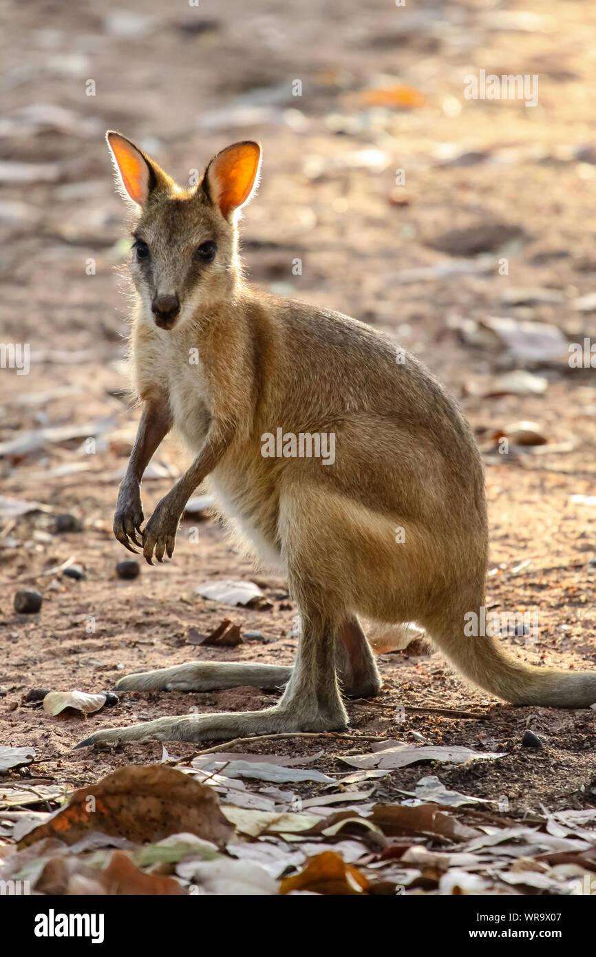 Wallaby ágil orientada en la cálida luz del atardecer, Katherine, el Territorio del Norte, Australia Foto de stock