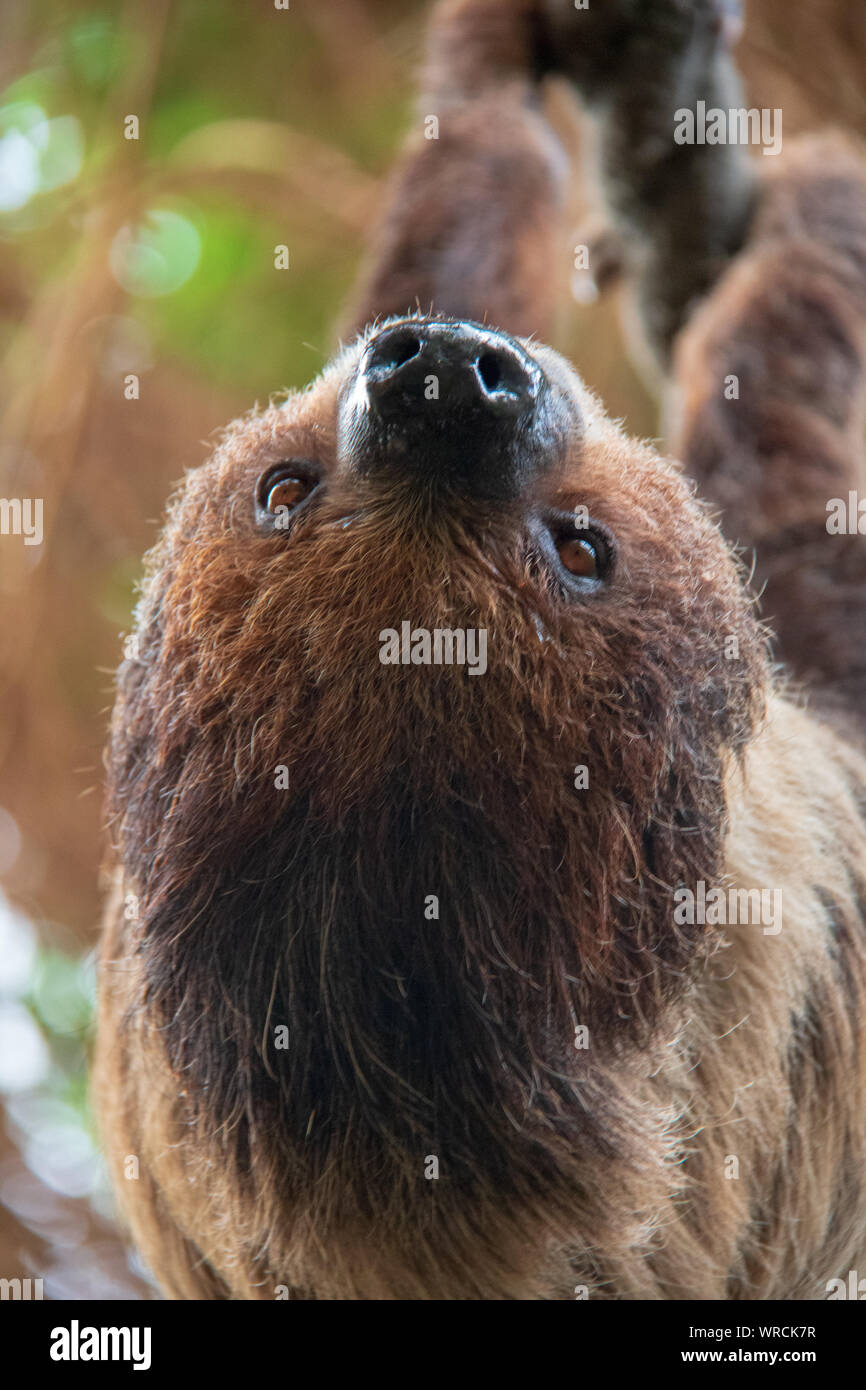 Vista cercana de la cabeza de un linneo dos dedos cada sloth (Choloepus didactylus) colgado boca abajo de un árbol Foto de stock