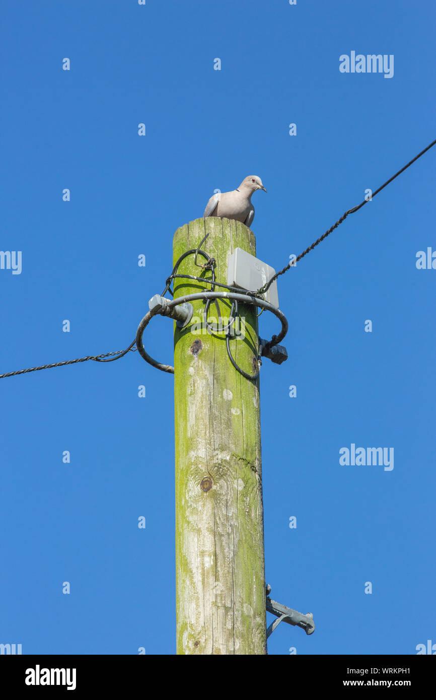 (Streptopelia decaocto Collared Dove). Llamativamente donde se posan en la parte superior de un poste de telégrafo de la línea de alimentación. En Norfolk. UK Foto de stock